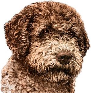Italian Dog Breed Romagnolo